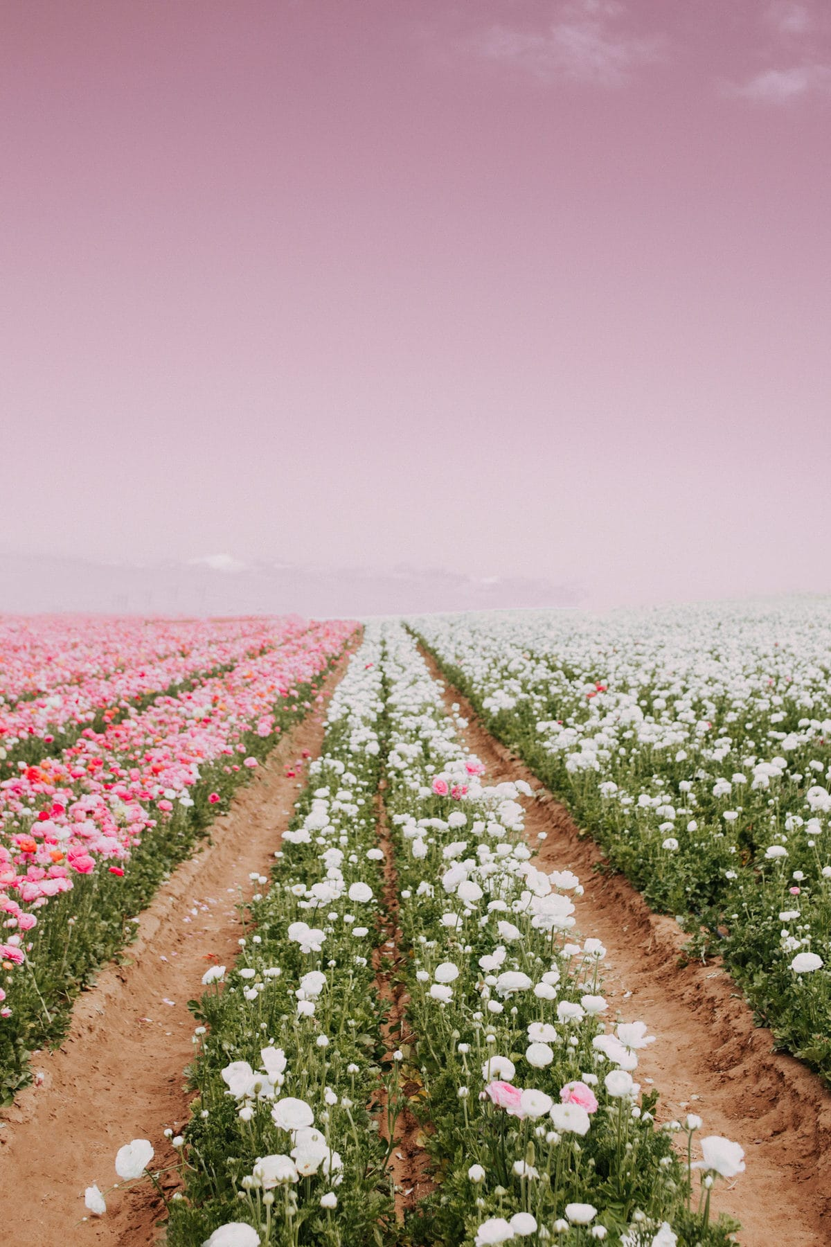 This image has an empty alt attribute; its file name is RESIZED-flower-field-scaled.jpg